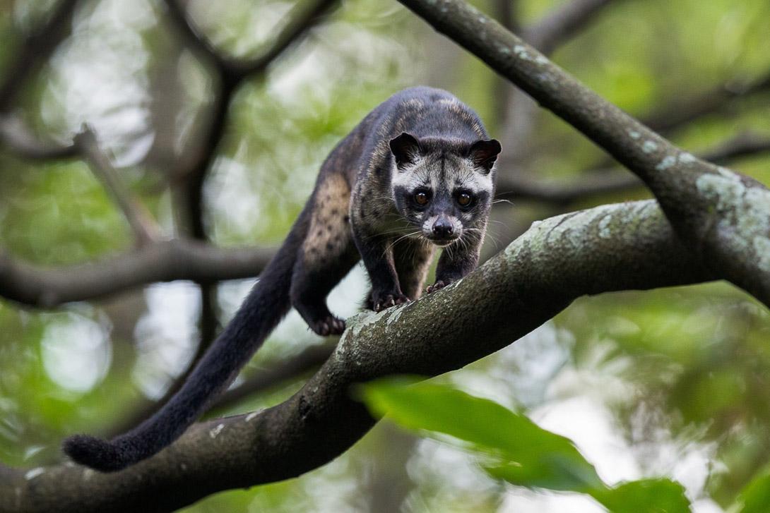 Oviječ skvrnitý (Paradoxurus hermaphroditus)