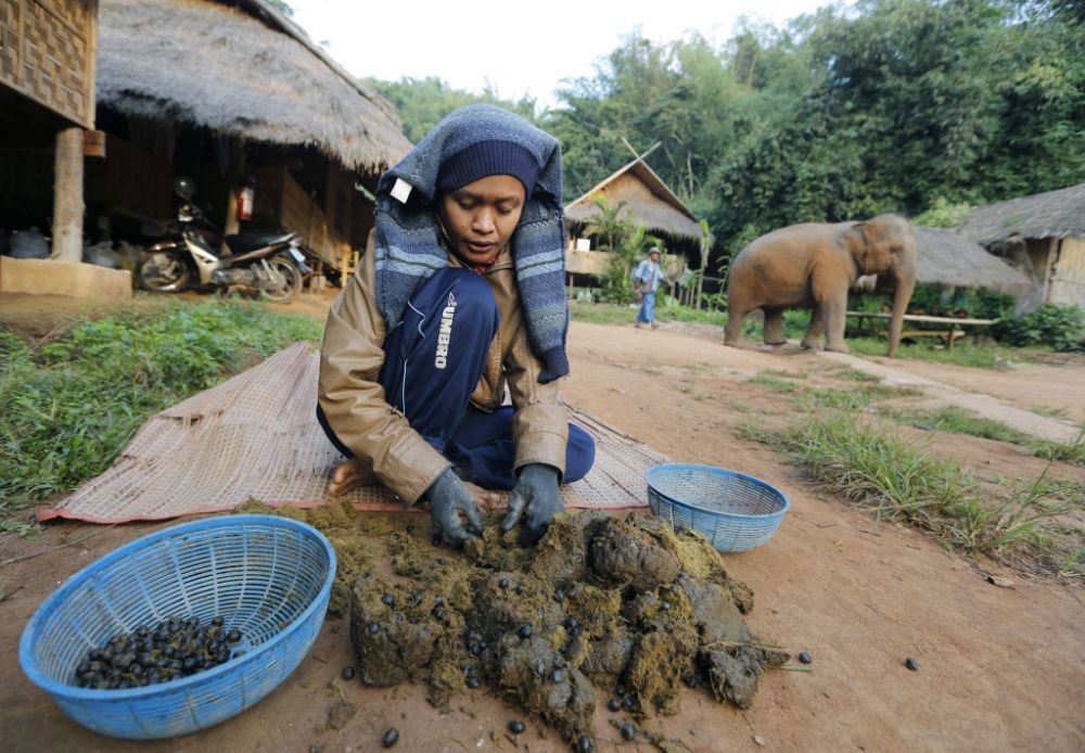 Sloní trus se přebírá ručně