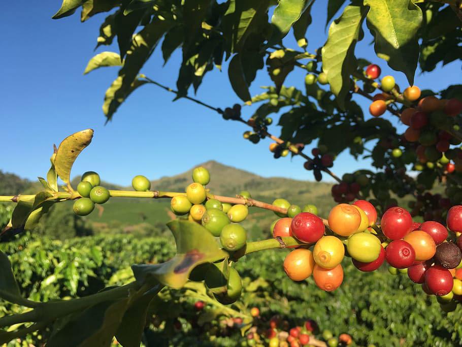 Brazilská káva a co o ní možná nevíte