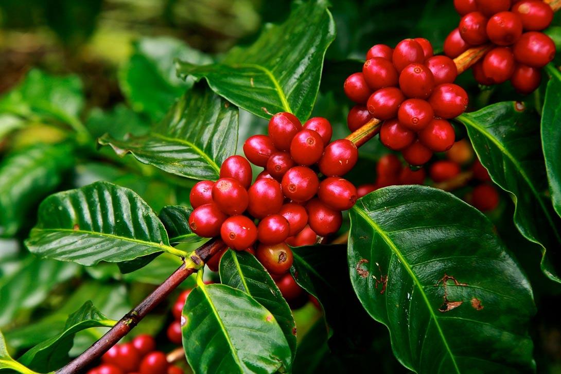 Jak doma pěstovat kávovník?