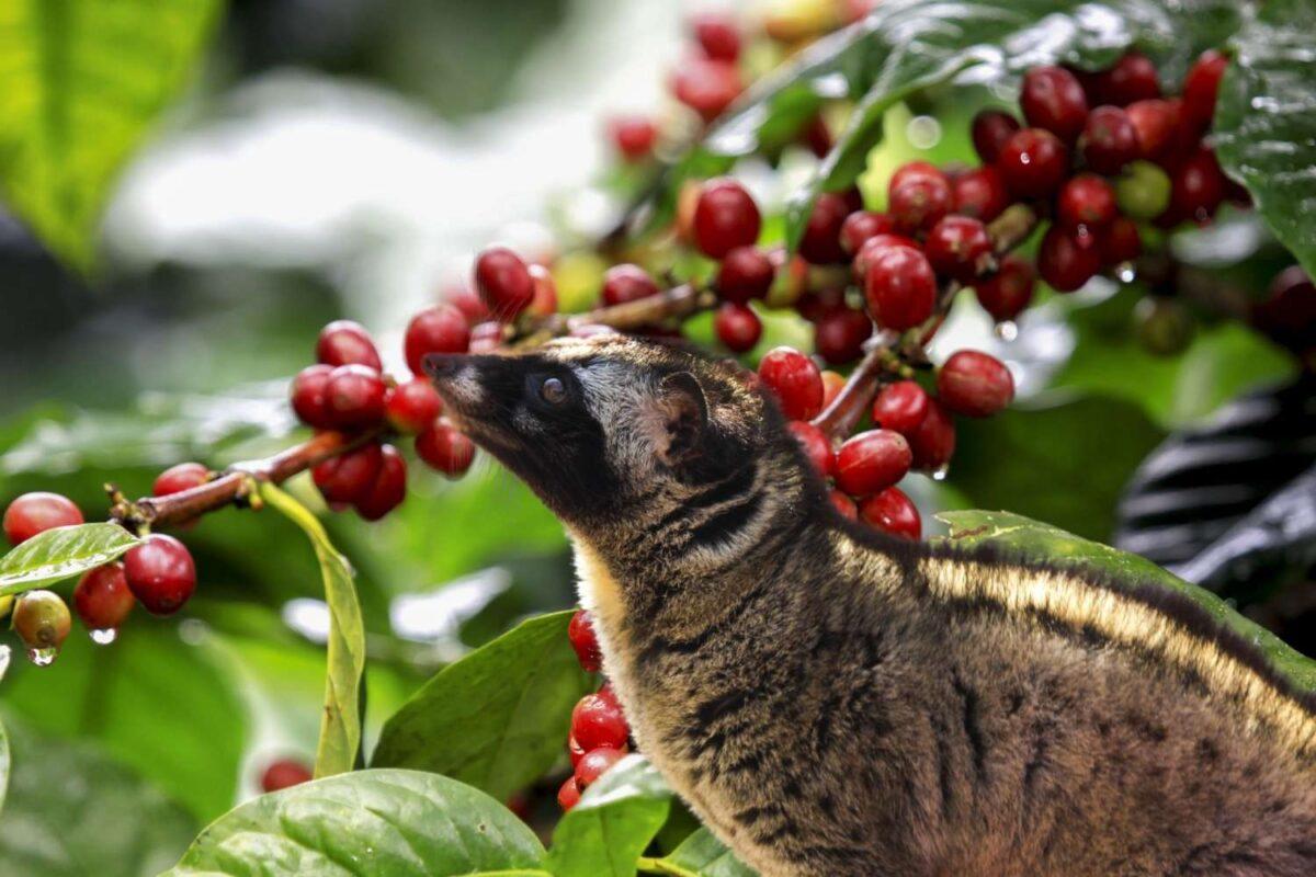 Kopi Luwak aneb cibetková káva - jak chutná a proč je tak ceněná mezi kávomilci?